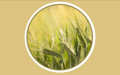 Barley for sheep: Healthy nutrition or dangerous diet?